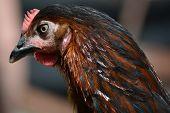 Young Maran Chicken