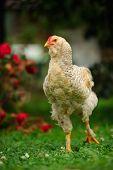 Mottled Chicken (Cockerel) Walking On Green Lawn