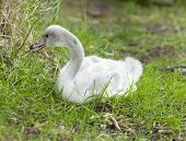 The baby bird of a swan