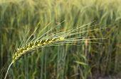 Wheat Green Spikelet