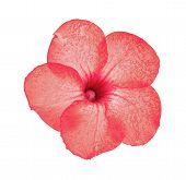 stock photo of desert-rose  - Desert Rose  - JPG