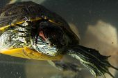 image of terrapin turtle  - Little green young turtle sitting in aquarium - JPG