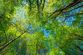 image of canopy  - Spring Summer Sun Shining Through Canopy Of Tall Trees - JPG