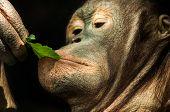 foto of orangutan  - A detailed shot of an orangutan eating green leaf  - JPG
