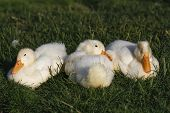 image of duck  - The white duckling sleeping together on the grass - JPG