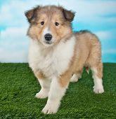 picture of collie  - Super cute Collie puppy standing in the grass with a blue sky behind her - JPG