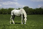 foto of horses eating  - White horse eating green grass on the meadow - JPG