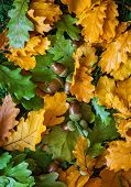 stock photo of acorn  - Autumn background with oak leaves and acorns - JPG