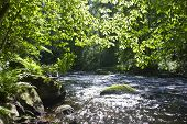 image of redwood forest  - forest river Lindulovo in the Leningrad region - JPG