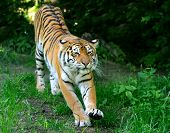 image of tigress  - Amur Tigers on a geass in summer day - JPG
