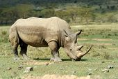 stock photo of rhino  - African White Rhino Lake Nakuru National park of Kenya - JPG