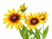 picture of black-eyed susans  - Yellow flower of Rudbeckia hirta or Black Eyed Susan with stem - JPG
