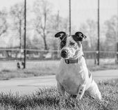 foto of jack russell terrier  - Jack Russell terrier dog in a park on grass - JPG