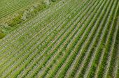 picture of apple orchard  - Aerial view on the large blooming apple orchard - JPG