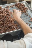 picture of cocoa beans  - Hands select cocoa beans manually. Agriculture. brown ** Note: Shallow depth of field - JPG