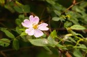 image of wild-brier  - A nice pink briar rose under the warm spring sun - JPG