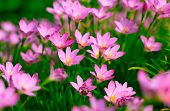pic of lily  - Zephyranthes Lily - JPG