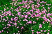 foto of lily  - Zephyranthes Lily - JPG