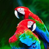 picture of parrots  - Beautiful parrot bird Greenwinged Macaw standing on the log back profile - JPG