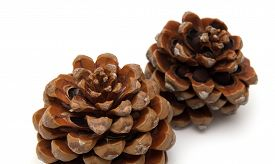 picture of pinus  - cone of stone pine Pinus pinea with some of the nuts still in isolated on white background - JPG
