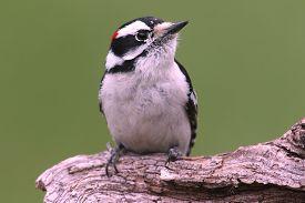 stock photo of woodpecker  - Downy Woodpecker  - JPG