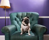 Pug Dog On Green Chair In Front Of Purple Wall