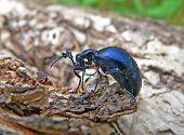 Escarabajo (Meloe SP. Violatus)