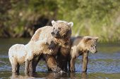 Brown Bear Sow And Two Cubs On Riverbank