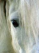 pic of white horse  - closeup of a white horse - JPG
