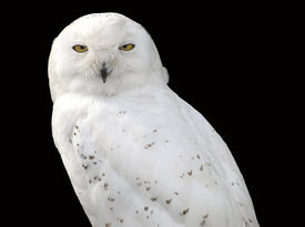stock photo of snow owl  - a white snowy owl against a black background - JPG