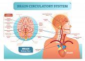 Brain Circulatory System Anatomical Vector Illustration Diagram. Human Brain Blood Vessel Network Sc poster