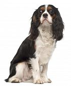 Cavalier King Charles Spaniel, 14 months old, sitting in front of white background