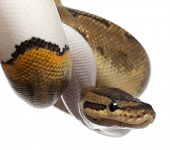 Close-up of Female Pinstripe Pied Royal python, ball python, Python regius, 14 months old, in front