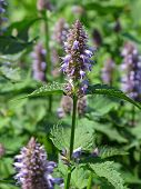 stock photo of hyssop  - close view of giant hyssop used as spice and salubrious herb - JPG