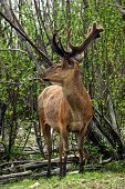 Deer In The Spring