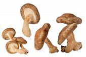 Shitake Mushrooms (lentinula Edodes)