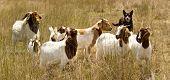 Working Dog Australian Kelpie Herds Goats