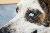 Thai Dog On Street, Dog With Two Different Colored Eyes With Copy Space., Close Up At Head And Eyes. poster