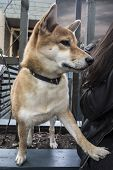 Portrait Of A Dog Breed Shiba Inu, Which Put The Paw On His Owner. A Breed Of Hunting Dogs, Bred On  poster