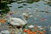Duck in Waste