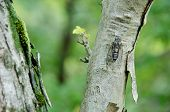 Cicada Sitting On A Tree And Singing