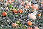 Field Of Ripe Pumpkins