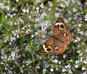 Autumn Buckeye Butterfly