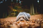 Hound Lying On The Ground In The Forest In The Autumnal Faded Leaves. Bohemian Wire Haired Pointing  poster