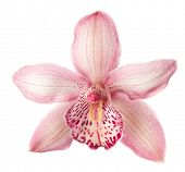 Close-up of beautiful pink Orchid flower on white background.