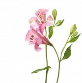 Alstroemeria flowers isolated on white background.