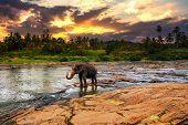 Elephant Bathing In The River. Pinnawala Elephant Orphanage. Sri Lanka. poster
