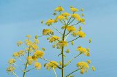 Giant Hogweed, A Giant Hogweed Against Blue Sky, Dangerous Plant poster
