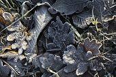 Frosty Fallen Leaves On The Grass