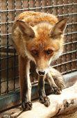 pic of rabies  - Fox in cage - JPG